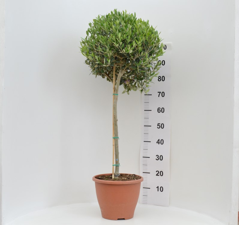 Olive 27/120