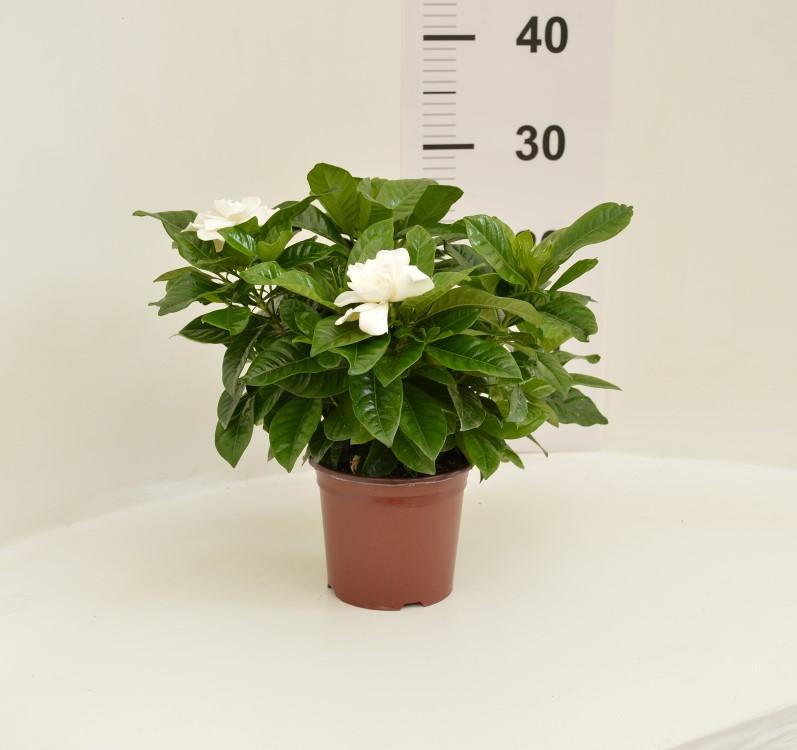 Gardenia 13/25