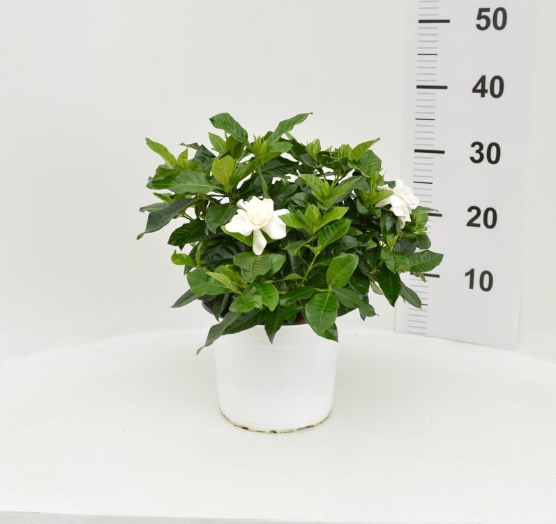 Gardenia 19/30