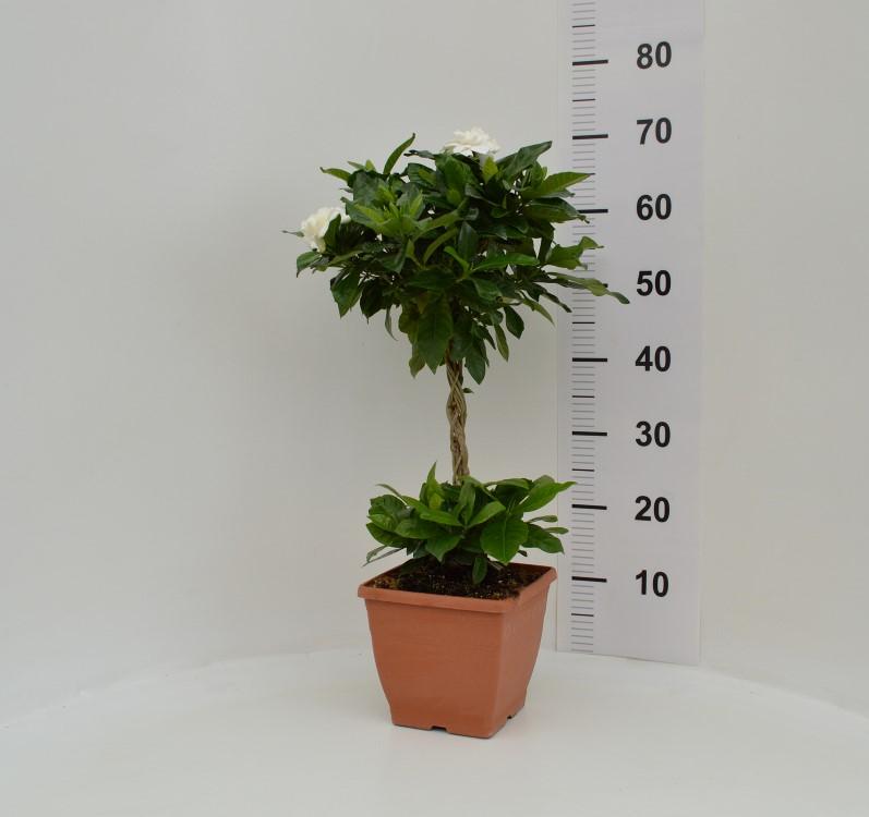 Gardenia 19X19 /70