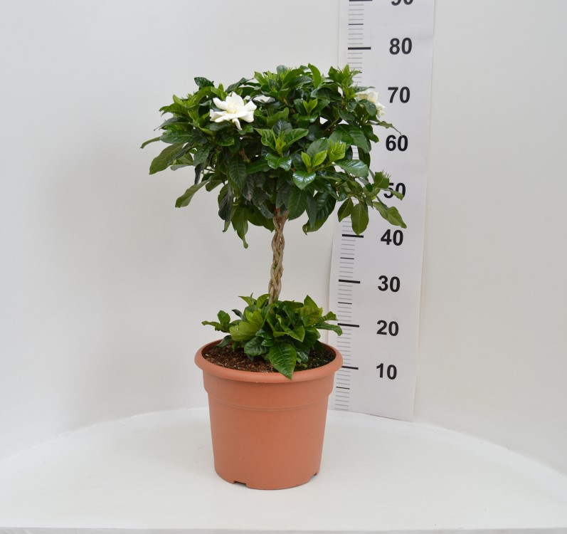Gardenia 27/90